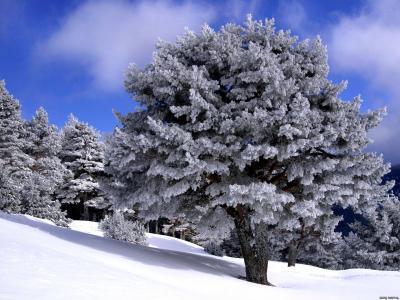 一个强大的树覆盖着白霜