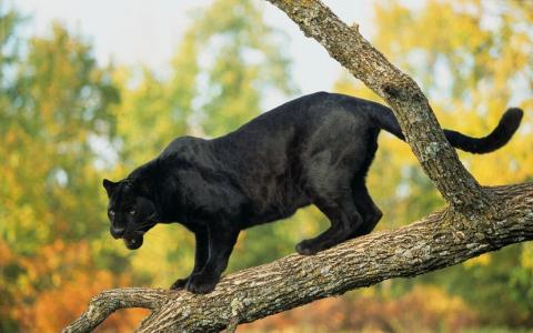 一只可怕的黑豹站在树枝上