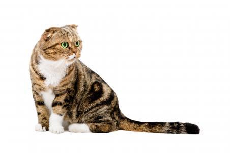 苏格兰垂耳猫在白色背景上