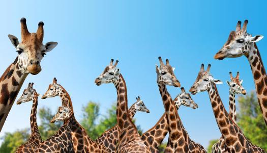 大长颈鹿反对蓝天