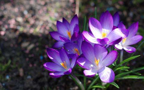 紫罗兰色番红花