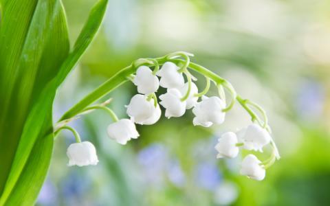 山谷的百合花