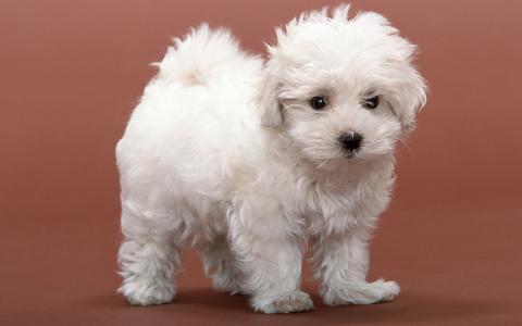 白色蓬松的小狗