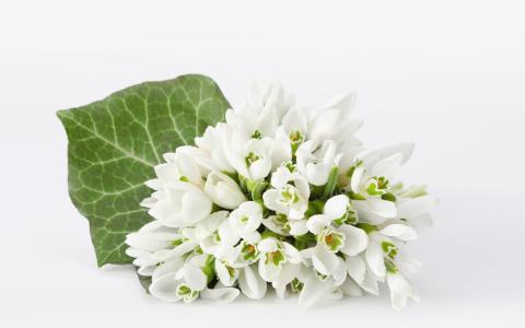 在白色背景上的白色雪花莲花束