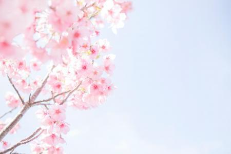 2021唯美的樱花图片
