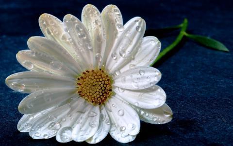 在蓝色背景上的露珠水滴精致的白色雏菊
