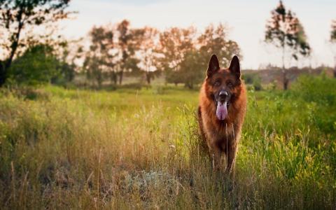 日落时的德国牧羊犬