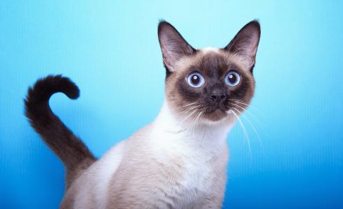 在蓝色背景的害怕暹罗蓝眼睛的猫
