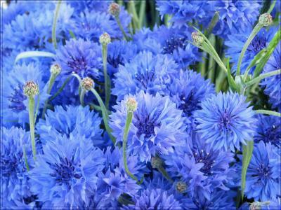 在花园里种植矢车菊