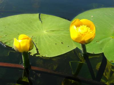 美丽的花朵在水面上