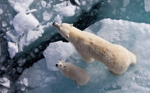 北极熊与小熊