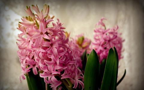 粉红色的风信子花开了