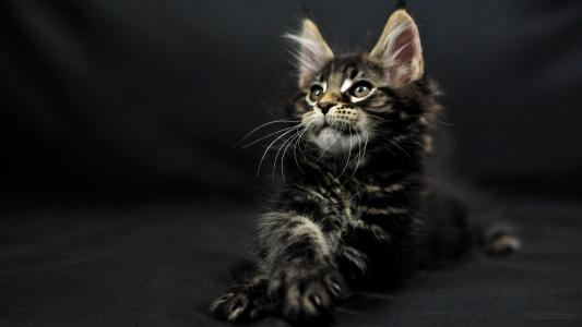 小可爱的暗色猫缅因浣熊