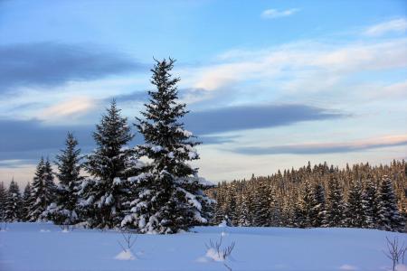 蓬松的冷杉在冬季的森林里覆盖着白色的雪