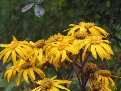 在花园里有一个美丽的植物Buzulnik