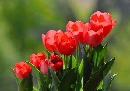 美丽鲜艳的红色郁金香花束