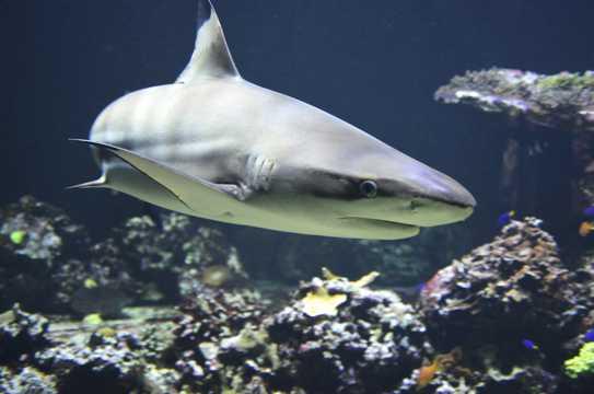 海底霸主黑鳍鲨鱼