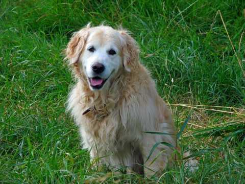 可爱的金毛犬