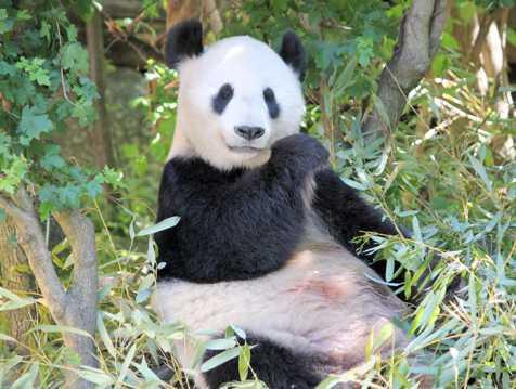 可可爱爱的大熊猫