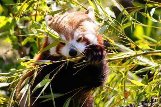吃竹子的小熊猫
