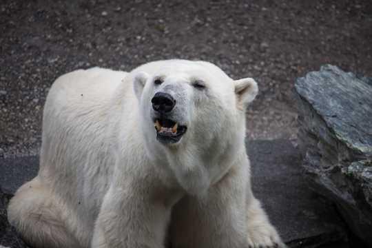可人呆萌的白色北极熊