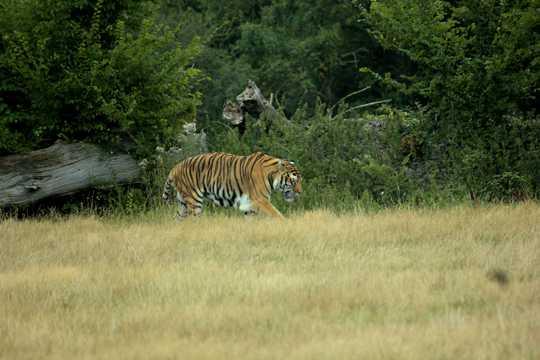 原野上的凶猛老虎