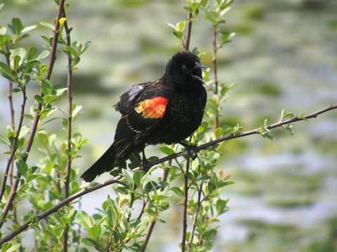 枝头上的红翅黑鹂