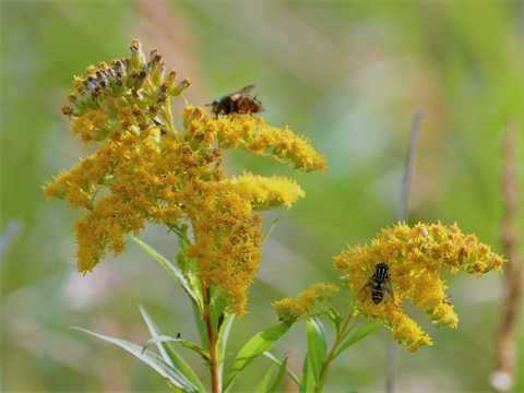 黄花上的蜜蜂