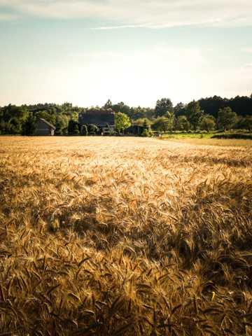 成熟的麦田