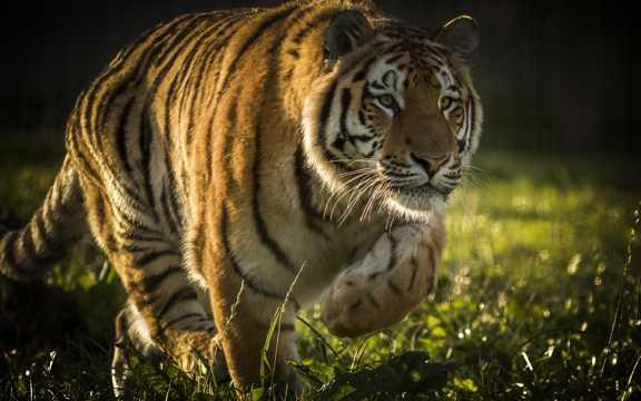 帅气的老虎