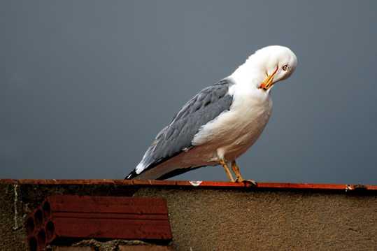 屋顶上的海鸥
