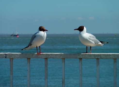 岸边的两只海鸥
