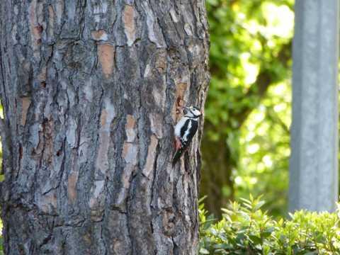 树林医生之大斑啄木鸟