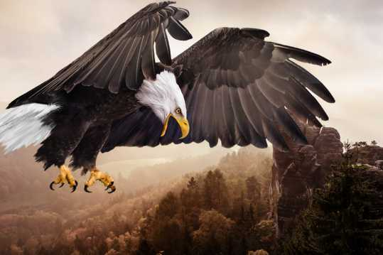 展翅的雄鹰