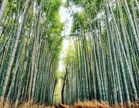 碧绿的竹林