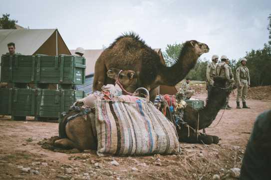 大漠之舟骆驼