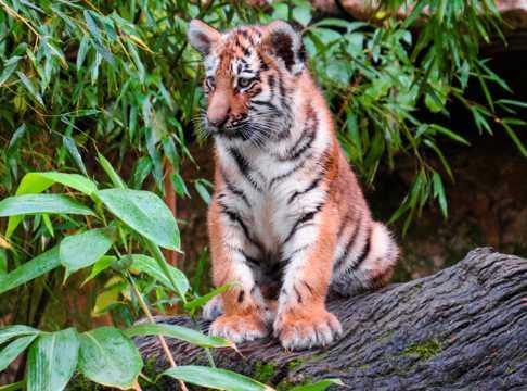 呆萌的小老虎