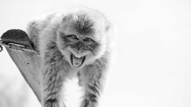 做鬼脸的狒狒