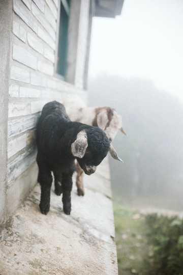 两只乖巧小羊羔