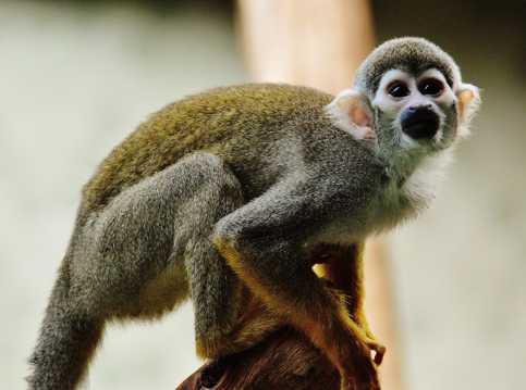 调皮淘气的松鼠猴