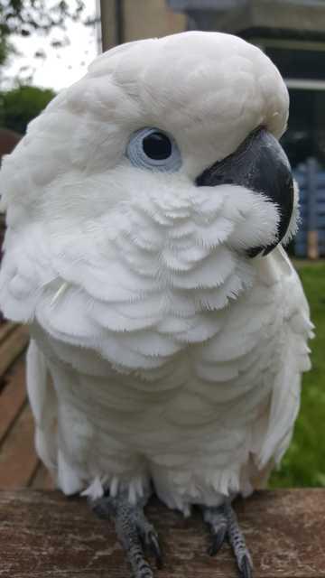 特可爱的白色凤头鹦鹉