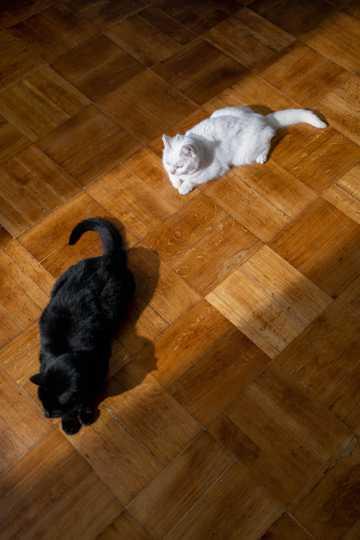 可爱的黑猫和白猫