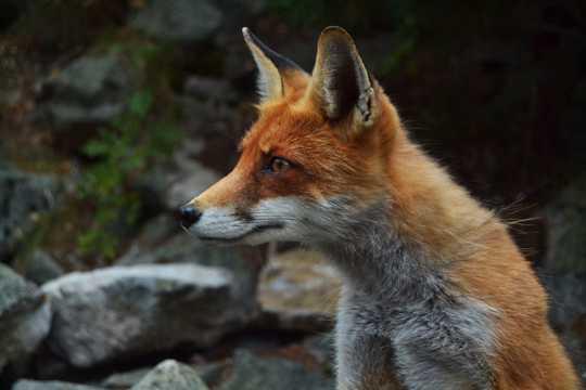 呆萌的的狐狸