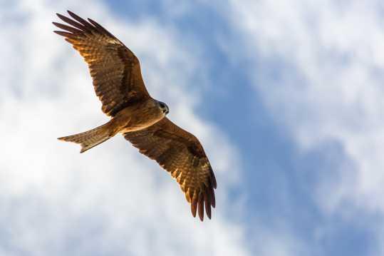 展翅遨游的老鹰