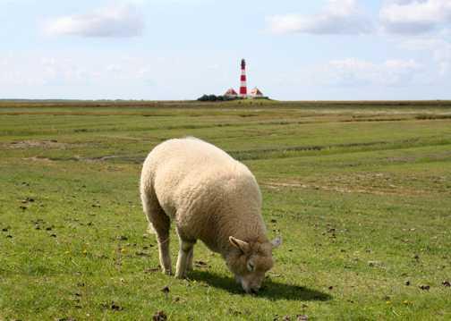 原野上的羔羊