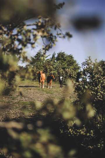 远处的三头牛
